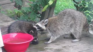 Baby raccoon receives 'Spring Cleaning' from his mother - Video