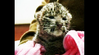 10 Day-Old Leopard Cubs - Video