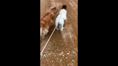 Miniature Horse Goes For Run With Golden Retriever Best Friend