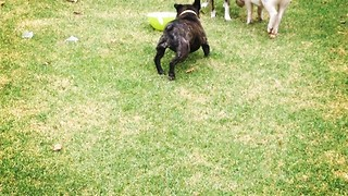 Pig Attempts to Join Dogs for Feast - Video