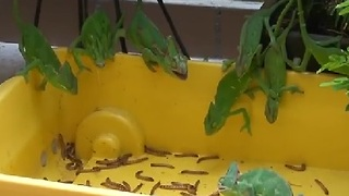 Chameleon Feeding Frenzy - Video