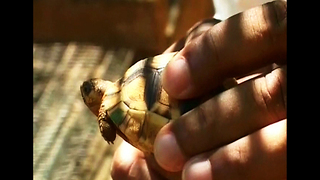 World's Rarest Tortoise - Video