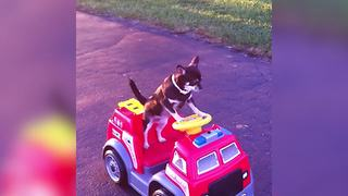 A Chihuahua Dog Rides A Toy Power Wheels Firetruck By Himself - Video