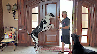 Bouncing Great Dane Can't Wait For Fried Chicken Treats