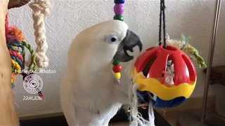 Culturally-Aware Cockatoo Channels Inner Miley Cyrus - Video