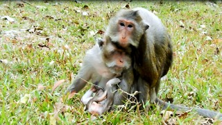 Alpha Monkey Kiss Butt Baby Like Big Bertha Too  - Video