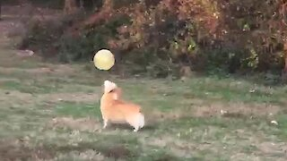Impressive Corgi Keeps Up Balloon Like A Pro