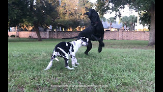 Bouncing and Pouncing Great Dane Loves to Play With Puppy  - Video
