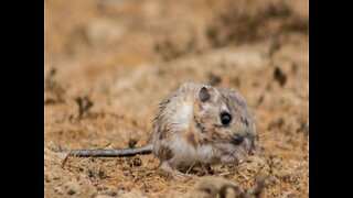 These tiny kangaroo rats live in Arizona - ABC15 Digital