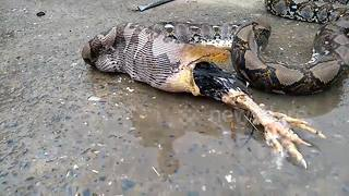 Massive python regurgitates farmer's rooster - Video