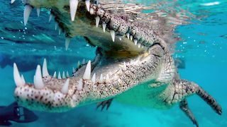 Brave Diver Gets Up Close And Personal With Wild Crocodile - Video