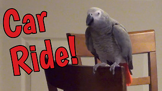 Gallivanting Parrot Wants To Go For Car Ride - Video