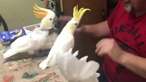 Trio of cockatoos have dance party with owner