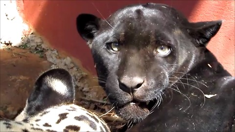 Groggy jaguars slowly awaken after being sedated