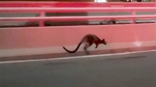 Police hop-eration! Runaway wallaby causes traffic chaos on sydney harbour bridge  - Video