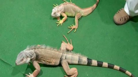 Indian juice shop owner is swarmed by eager customers who flock to see his 'star' pair of iguana lizards