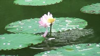 Rare footage of carp eating lotus captured in southern China - Video