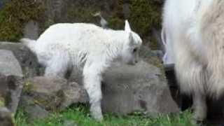 Oregon Zoo Welcomes Newborn Mountain Goat, And He's Already on The Go - Video
