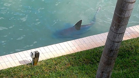 Big Bull Shark Is Spotted In The Backyard Of A Resident's Home