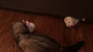 Adorable ferrets playing with a bouncing bunny
