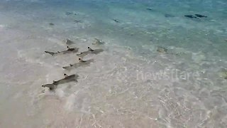 Dozens of small sharks join feeding frenzy in the Maldives - Video