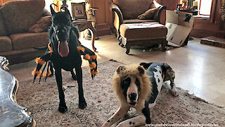 Awesome Great Danes Get Dressed Up For Halloween