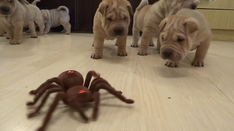 Shar Pei puppies take on robot spider