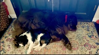 Dreaming Newfie kicks Cavalier puppy in the face