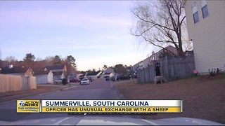 Officer has unusual exchange with a sheep in Summerville, South Carolina