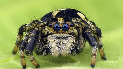 Cute little jumping spider will cure your arachnophobia