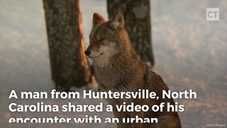 Why You Always Avoid Urban Coyotes