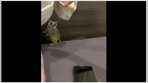 Cute Bush Baby Plays Tag With Owner
