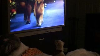 Dogs Bark at Fellow Canines Competing in National Dog Show - Video