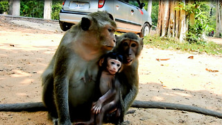 Baby Monkey Love To Stay Close Mom - Video