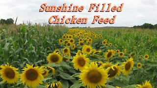 Soy free poultry feed with Sunflower meal