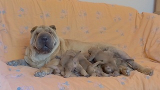Luna the Shar Pei feeds her newborn puppies