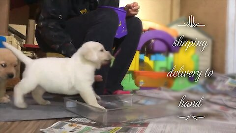 Watch this puppy learn how to become a service dog