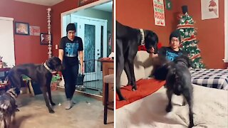 Great Dane trains his owner exactly where to sit