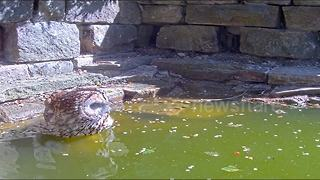 Rare footage of tawny owl cooling down in pond in daylight - Video
