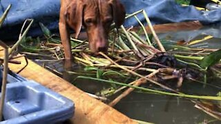 Dog freezes before attacking frog