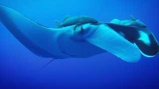 Scuba divers swim with giant manta rays