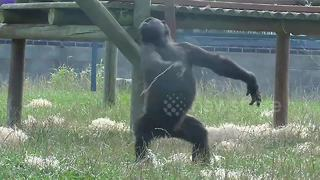 Gorilla youngster and baby brother show off ballet skills - Video