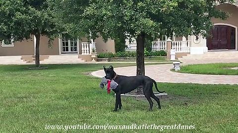 Great Dane puppy takes stuffed animal for walk