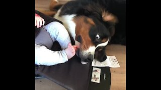 Bernese Mountain Dog kisses & protects baby boy