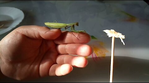 How you can feed a praying mantis at home
