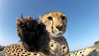 Caught On Camera: Curious Cheetah Uses GoPro As A Chew Toy - Video