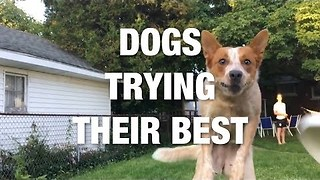 Dogs Trying Their Best And Failing Adorably For Your Entertainment - Video