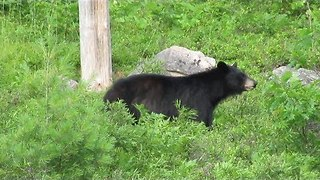 Tourists Gather Dangerously Close to Wild Black Bear in Algonquin Park - Video
