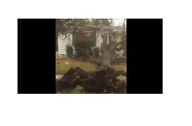 Strong Winds Topple Trees in Corpus Christi - Video