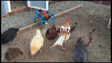 Roo the Rooster Shows Off His Dancing Feet in the Chicken Yard